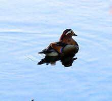 Mr Mandarin Duck by Alex Abrahams