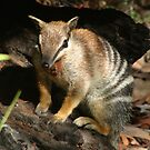Numbat by pandab1jb