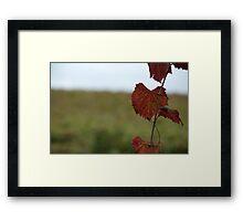 Grape Vine, Margaret River, Western Australia Framed Print