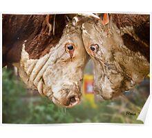 Hereford Bulls Poster