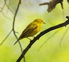 The Yellow Warbler by withacanon