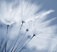Dusty Blue Dandelion Clock and Water Droplets by Natalie Kinnear