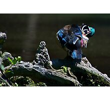 Wood Duck Pruning Photographic Print