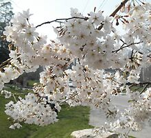 Cherry  blossoms by ack1128