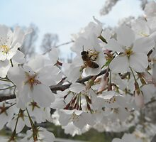 Honeybee On Cherry Blossoms by ack1128