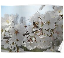 Honeybee On Cherry Blossoms Poster