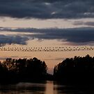Cormorants in Mt. Vernon at Sunset by MischaC
