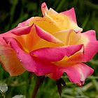 My first rose of the season   by DebbyScott