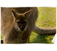Wallaby stare. Poster