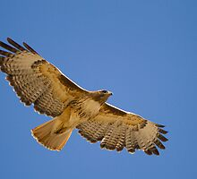 Soaring Red-tailed Hawk by Kent Keller