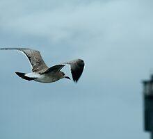 Sullivan's Island Gull by Joe Foster