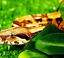 Boa constrictor headshot by thermosoflask