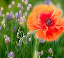 First Poppy by LudaNayvelt