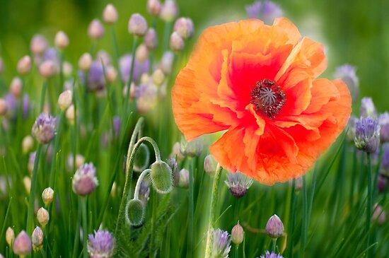 First Poppy by LudaNayvelt