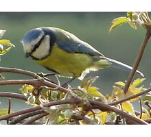 Blue tit on a branch Photographic Print