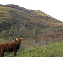 Highland Cow by Fattom25
