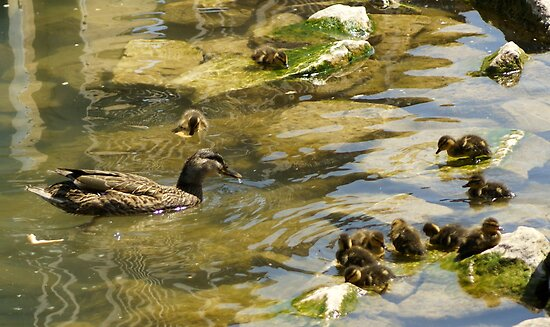 Mommy & her 10 ducklings by sternbergimages