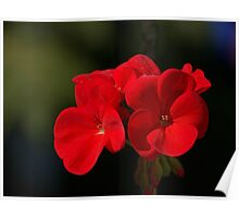 Scarlet Geranium.......! Poster
