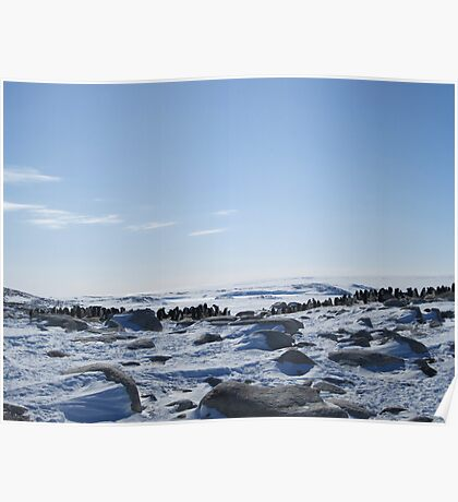 Adelie Penguin Colony - Peterson Island Poster