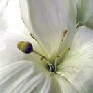 White on White by Sandra Lee Woods