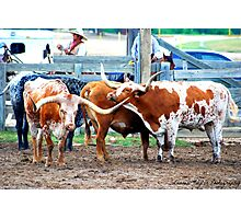 Cattle Call Photographic Print