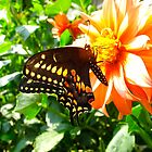 Swallowtail by MarianBendeth