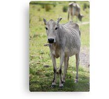 Sick Cow Metal Print