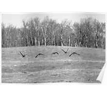 Canadian Geese Flying Low in Field Poster