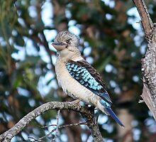 Blue - Winged Kookaburra (no. 1) by cathywillett