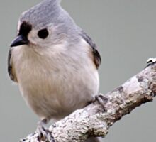 Tufted titmouse perched on a branch Sticker