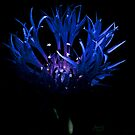 Blue Cornflower  by adriangeronimo