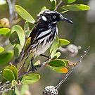 New Holland Honeyeater 3 by mncphotography