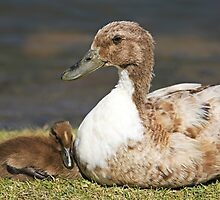 duck and duckling by Brenda Anderson