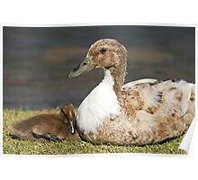 duck and duckling Poster