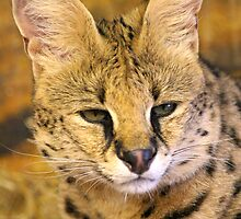 Serval by Christopher Lloyd