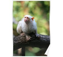 Silvery Marmoset Poster