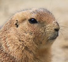 Prairie dog (genus Cynomys) by DutchLumix
