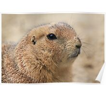 Prairie dog (genus Cynomys) Poster