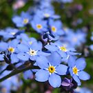 A sea of forget-me-nots  by millymuso