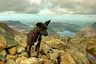 Tarn the Terrier.... on High Stile by VoluntaryRanger