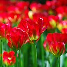 Red tulips by roumen