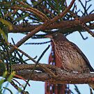 Brown Thrush by barnsis