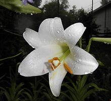 Easter lilies by ack1128