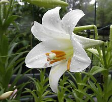 Easter Lilly by ack1128