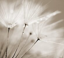 Sepia Dandelion Clock and Water Droplets by Natalie Kinnear