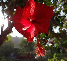 Rose Of Sharon - Hibisco by Bernhard Matejka
