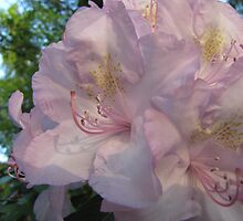 A Touch of Pink by orko