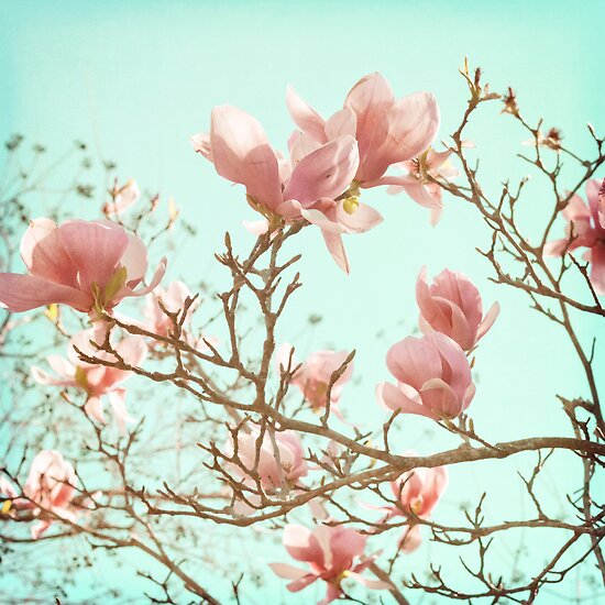 Japanese Magnolias by Carina Potts