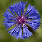 Blue Purple Cornflower by mncphotography