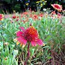 The Wrinkles in Life - Indian Blanket Flower Field by aprilann